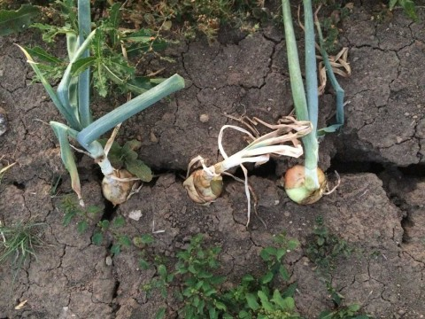 Feldfrüchte_trockener-Boden